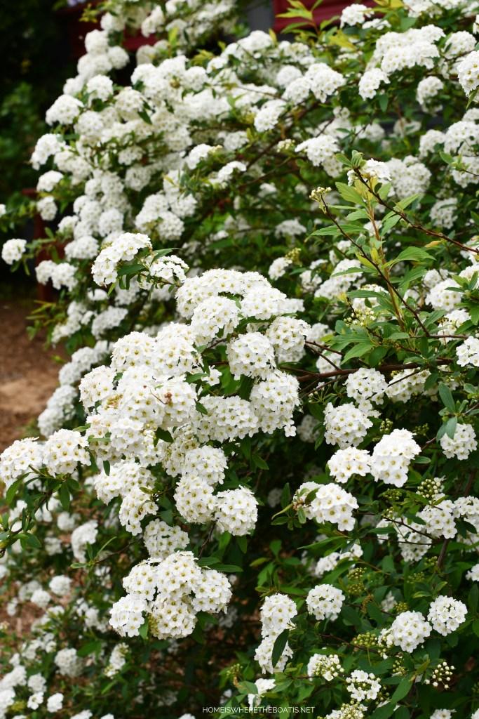 Bridal Wreath Spirea | ©homeiswheretheboatis.net #flowers #spring #garden