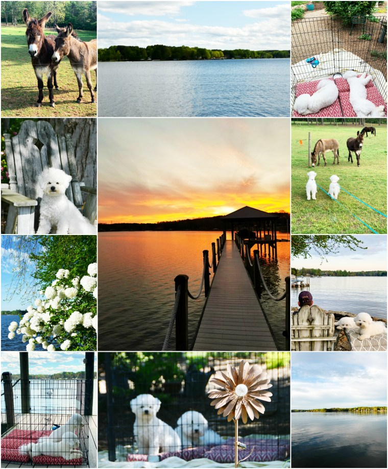 Weekend Waterview Guest Bloggers Lola and Sophie | ©homeiswheretheboatis.net #dogs #bichonfrise #lake #sunset #LKN