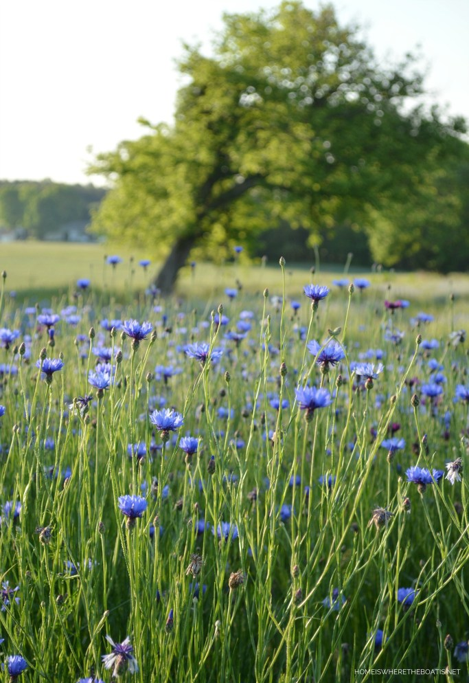 Field with Bachelor Buttons | ©homeiswheretheboatis.net #wildflowers #spring