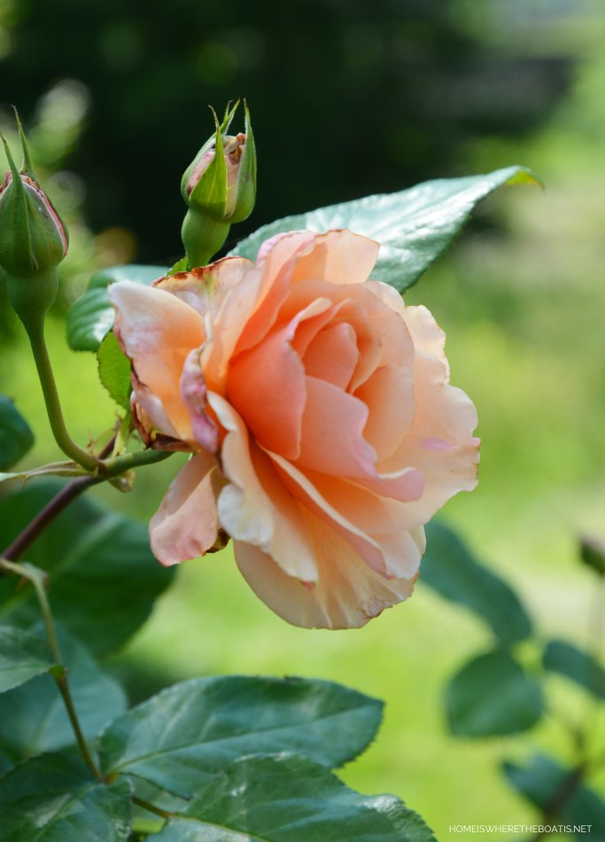 Mother of Pearl Rose | ©homeiswheretheboatis.net #spring #garden #flowers