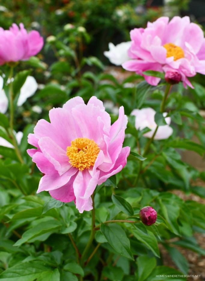 Peony | ©homeiswheretheboatis.net #garden #flowers