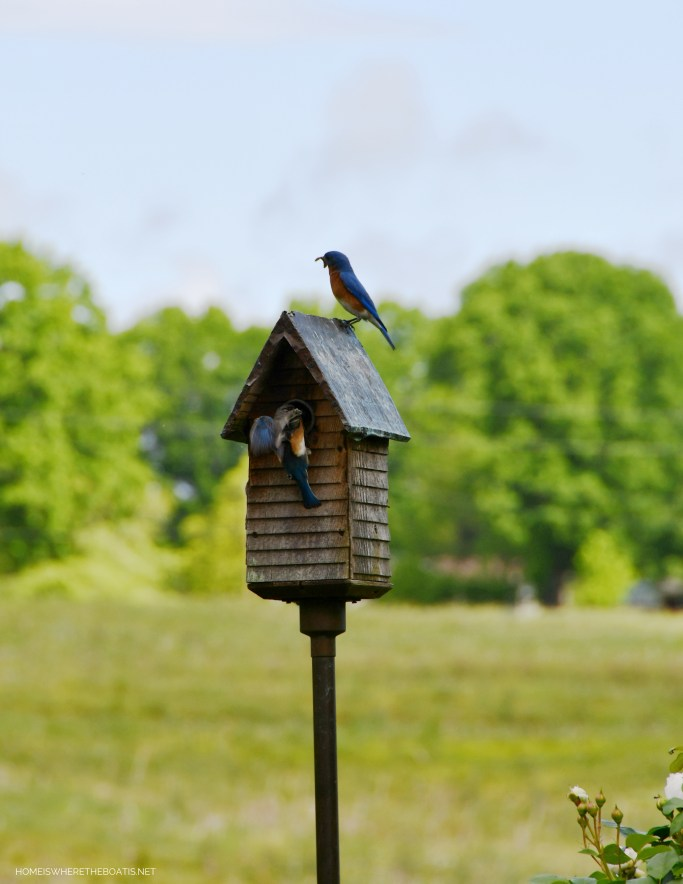 Eastern Bluebirds nesting | ©homeiswhetheboatis.net