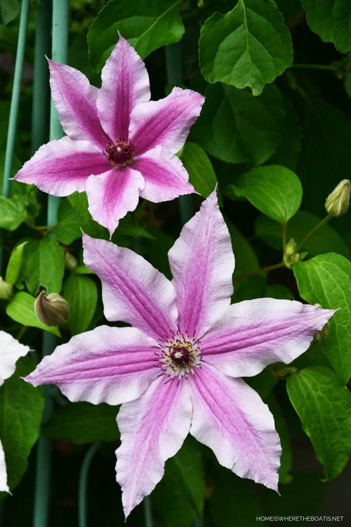 'Cherokee' Clematis | ©homeiswheretheboatis.net #garden #flowers
