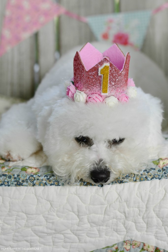 Sophie turns 1 | ©homeiswheretheboatis.net #dog #bichonfrise