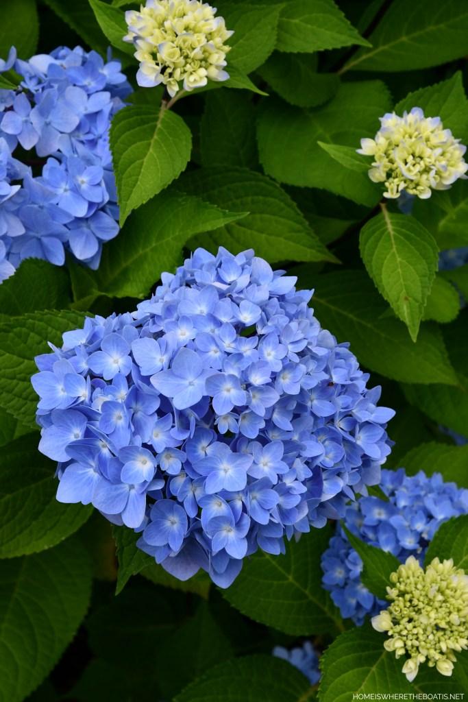 Endless Summer Hydrangea | ©homeiswheretheboatis.net #flowers #garden #hydrangeas