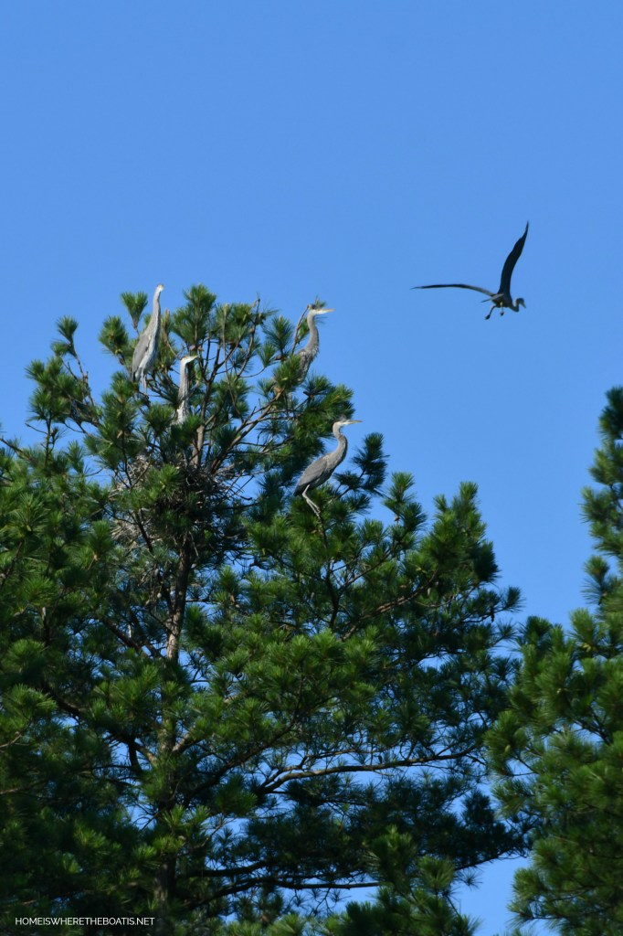 Herons nesting in trees Lake Norman | ©homeiswheretheboatis.net