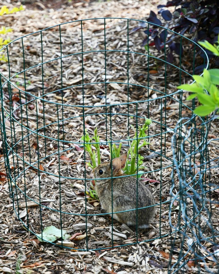 Bunny eating perennials in garden | ©homeiswheretheboatis.net #flowers #garden