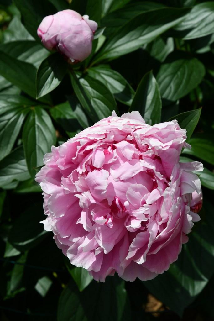 Sarah Bernhardt Peonies | ©homeiswheretheboatis.net #flowers #garden #peony