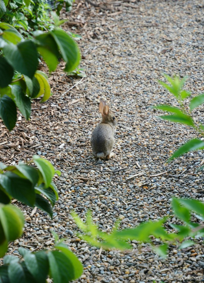 Rabbit in garden | ©homeiswheretheboatis.net #spring #rabbit #garden #bunny