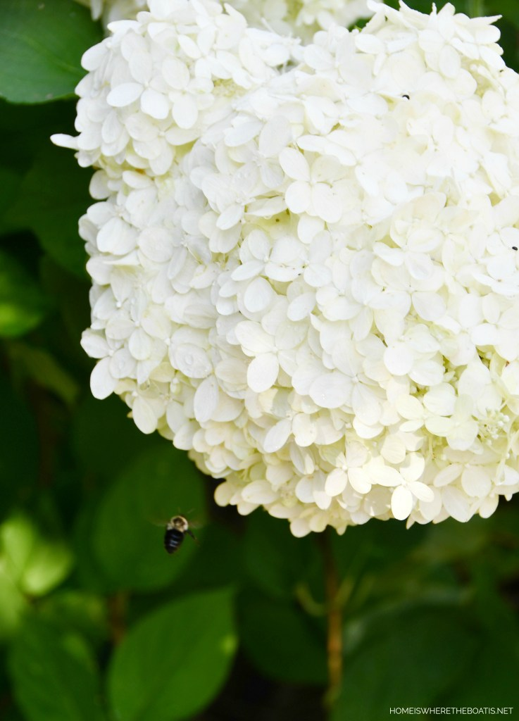 Limelight Hydrangeas and Bee | ©homeiswheretheboatis.net #flowers #garden