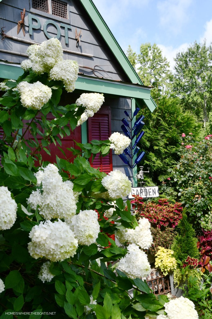 Limelight Hydrangeas Potting Shed | ©homeiswheretheboatis.net #flowers #garden