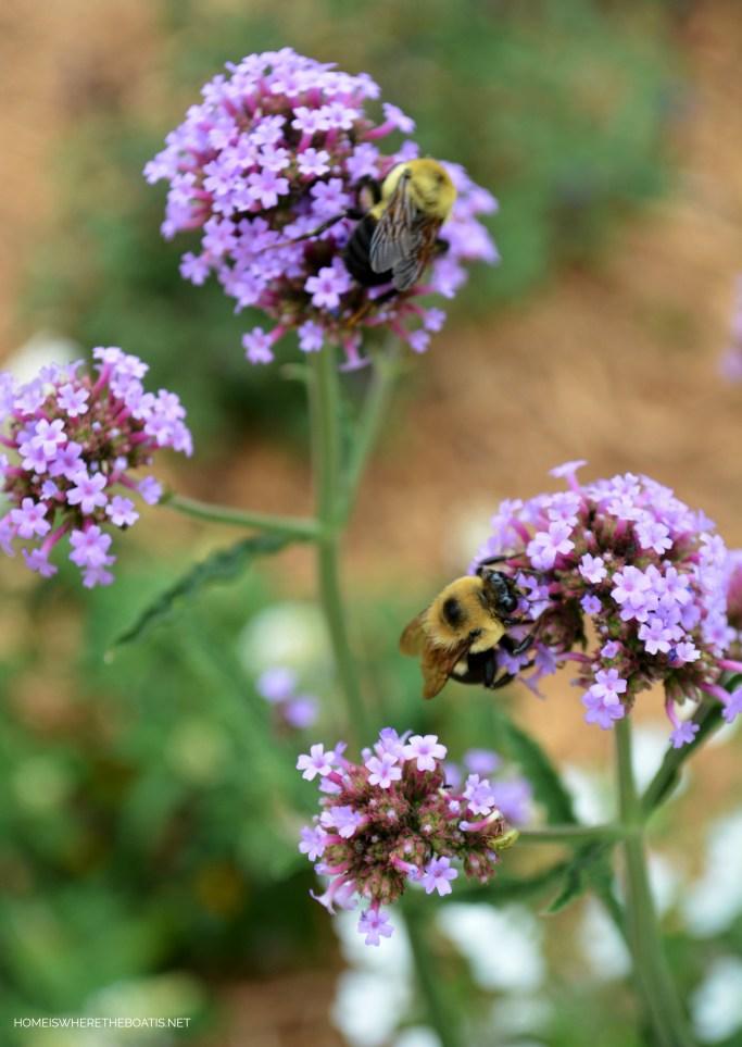 Verbena Lollipop with bees | ©homeiswheretheboatis.net #bees #flowers #garden