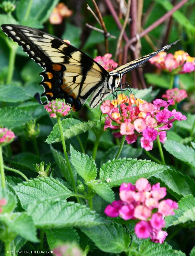 Swallowtail Butterfly on lantana | ©homeiswheretheboatis.net #butterfly #garden #flowers
