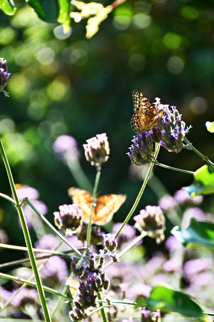 Fritillary Butterflies on Verbena Lollipop | ©homeiswheretheboatis.net #butterfly #garden #flowers