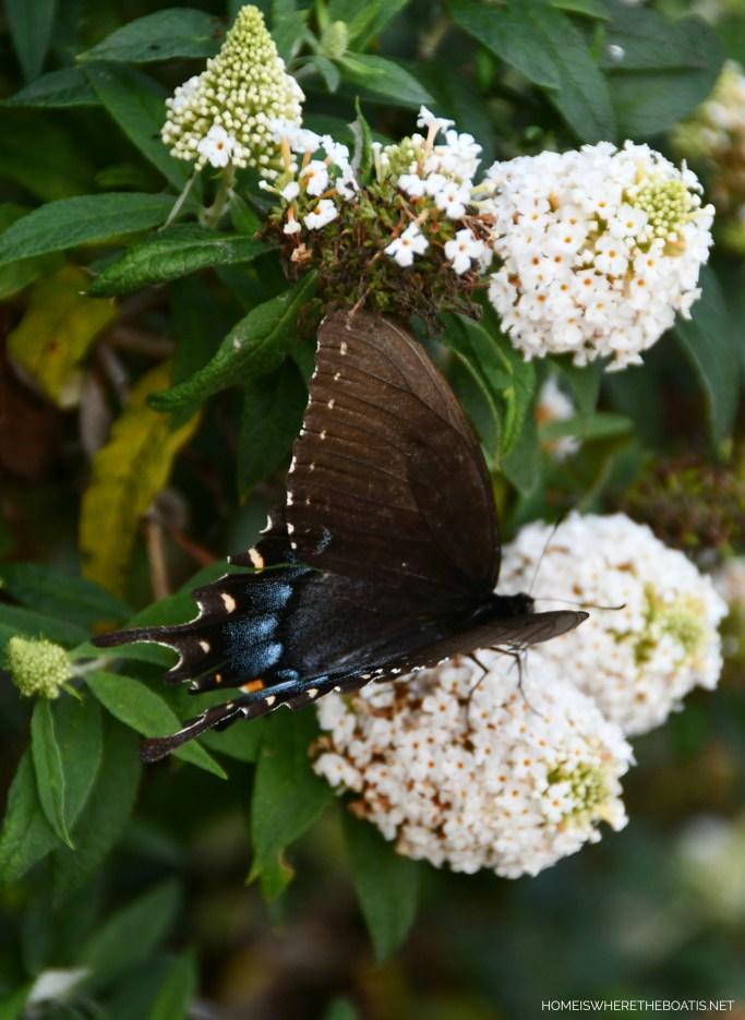 Swallowtail Butterfly on butterfly bush | ©homeiswheretheboatis.net #butterfly #garden #flowers