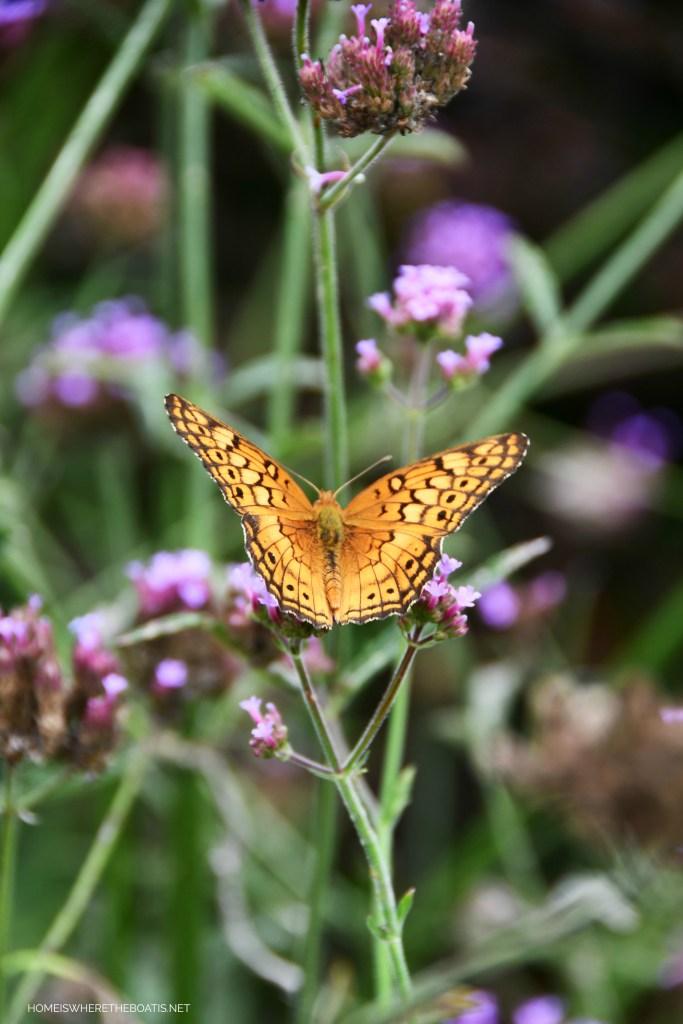 Variegated Fritillary Butterfly on Verbena Lollipop | ©homeiswheretheboatis.net #butterfly #garden #flowers