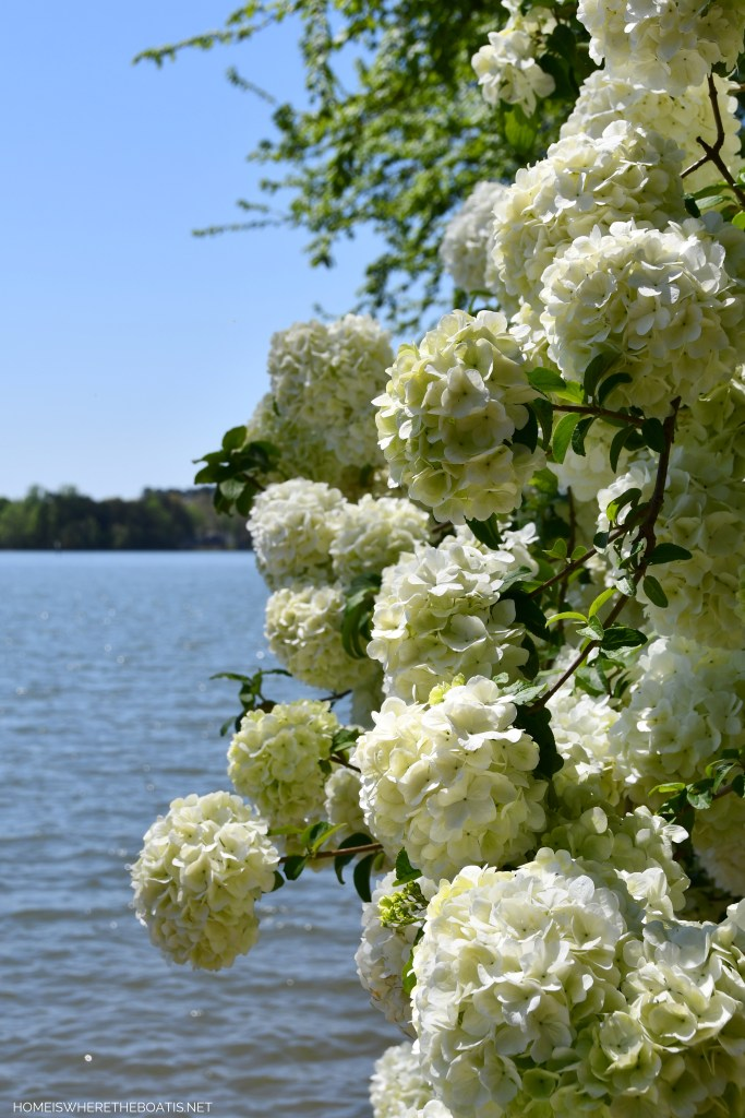 Weekend Waterview: Snowball Viburnum | ©homeiswheretheboatis.net #LKN #lakenorman