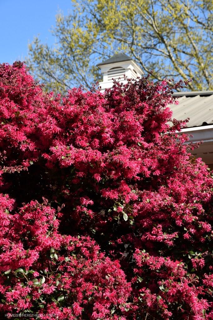 Loropetalum, also known as Chinese fringe-flower | ©homeiswheretheboatis.net #garden #flowers