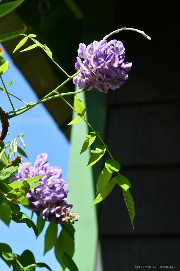 Amethyst Falls American Wisteria vine | ©homeiswheretheboatis.net #pottingshed #garden #flowers