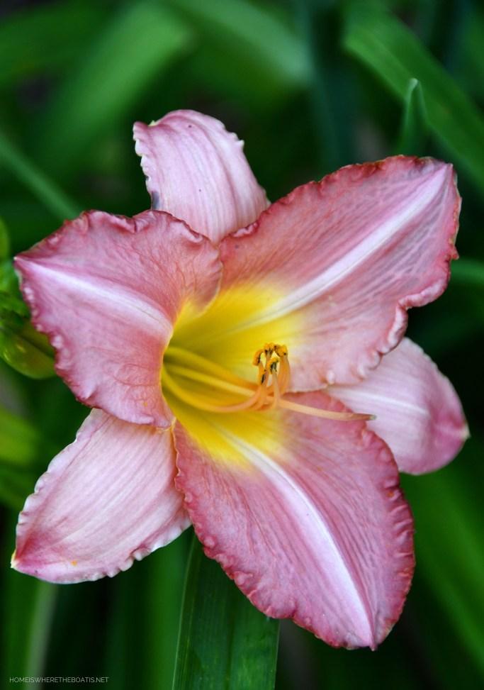 Daylilies | ©homeiswheretheboatis.net #hydrangeas #garden #flowers