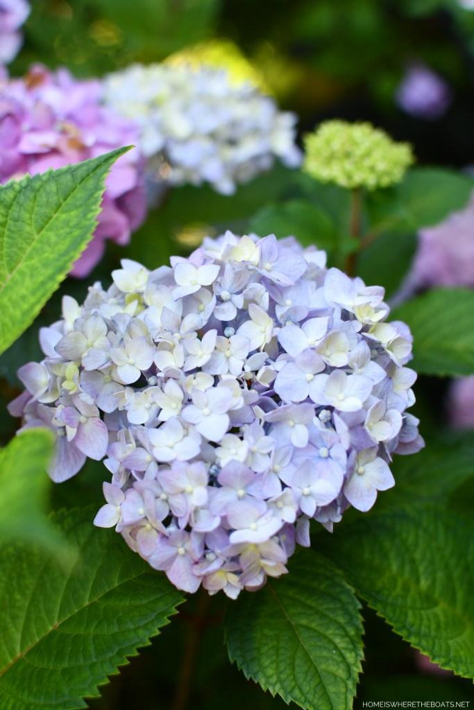 Endless Summer Hydrangea | ©homeiswheretheboatis.net #summer #garden #flowers #daylilies #hydrangeas #bees #butterflies