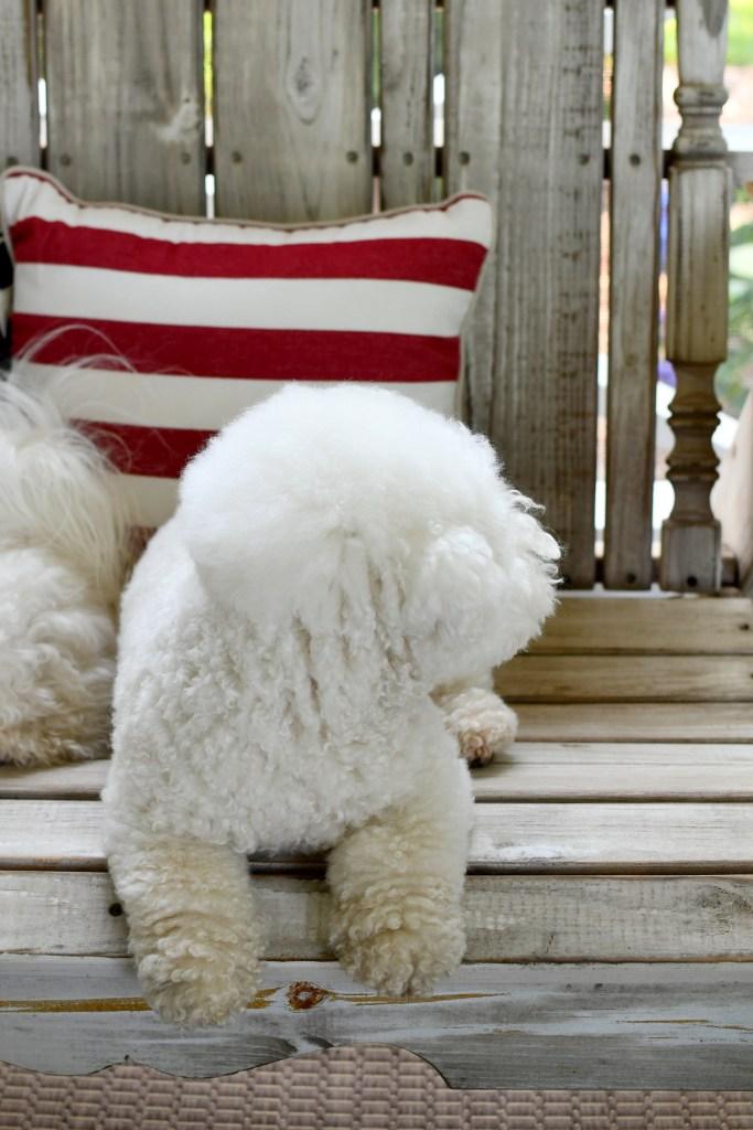 Lola | ©homeiswheretheboatis.net #dogs #bichonfrise #4thofjuly
