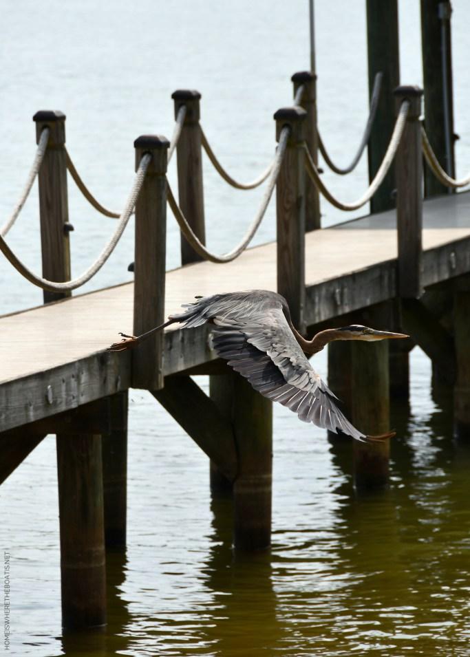 Great Blue Heron   ©homeiswheretheboatis.net #boating #lake #heron #dock