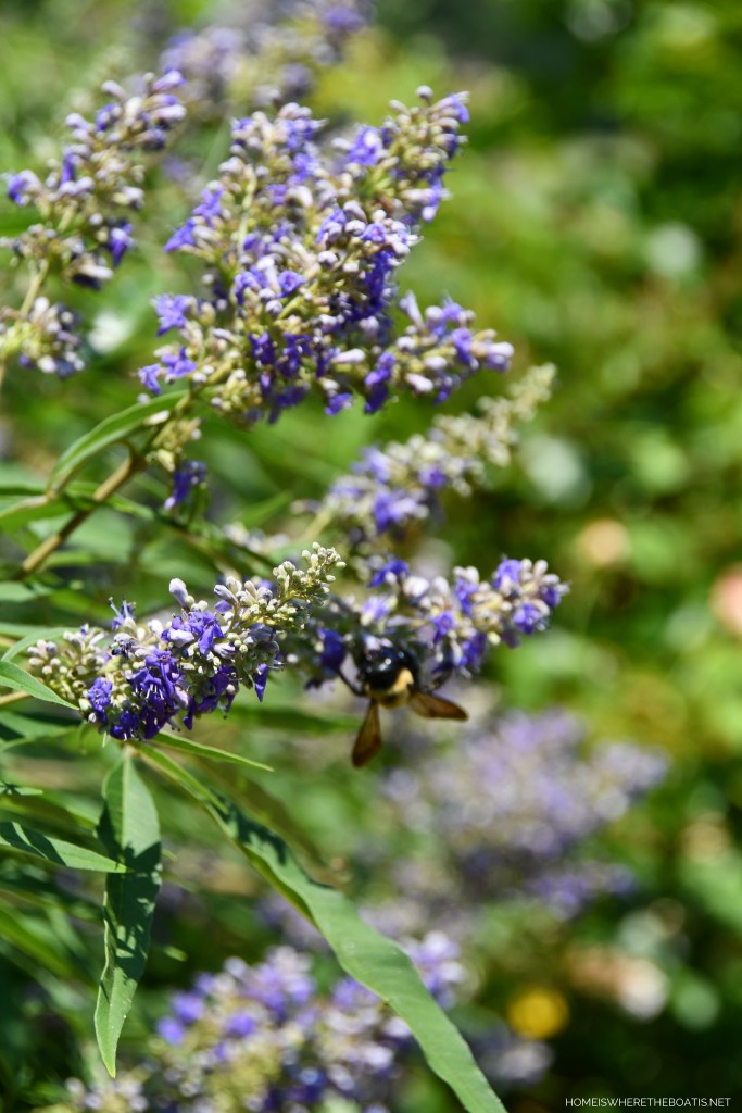 Chaste Tree with bumblebees | ©homeiswheretheboatis.net #garden #flowers #bees