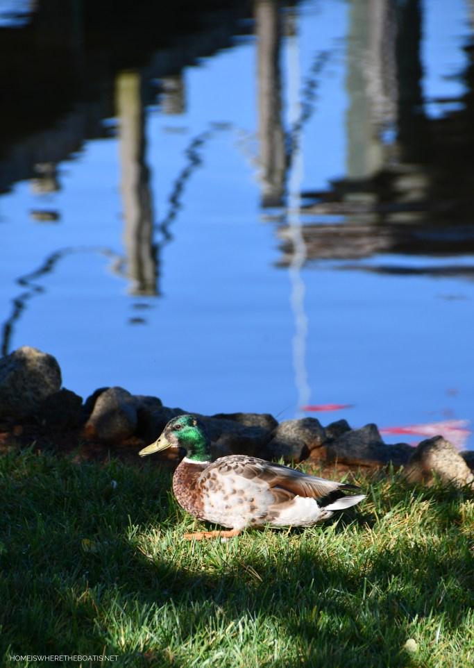 Weekend Waterview Mallard Duck | ©homeiswheretheboatis.net #lake #LKN #ducks