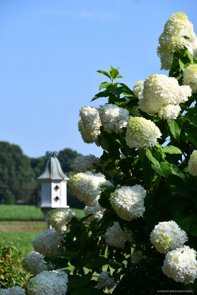 Limelight hydrangeas   ©homeiswheretheboatis.net #hydrangeas #flowers