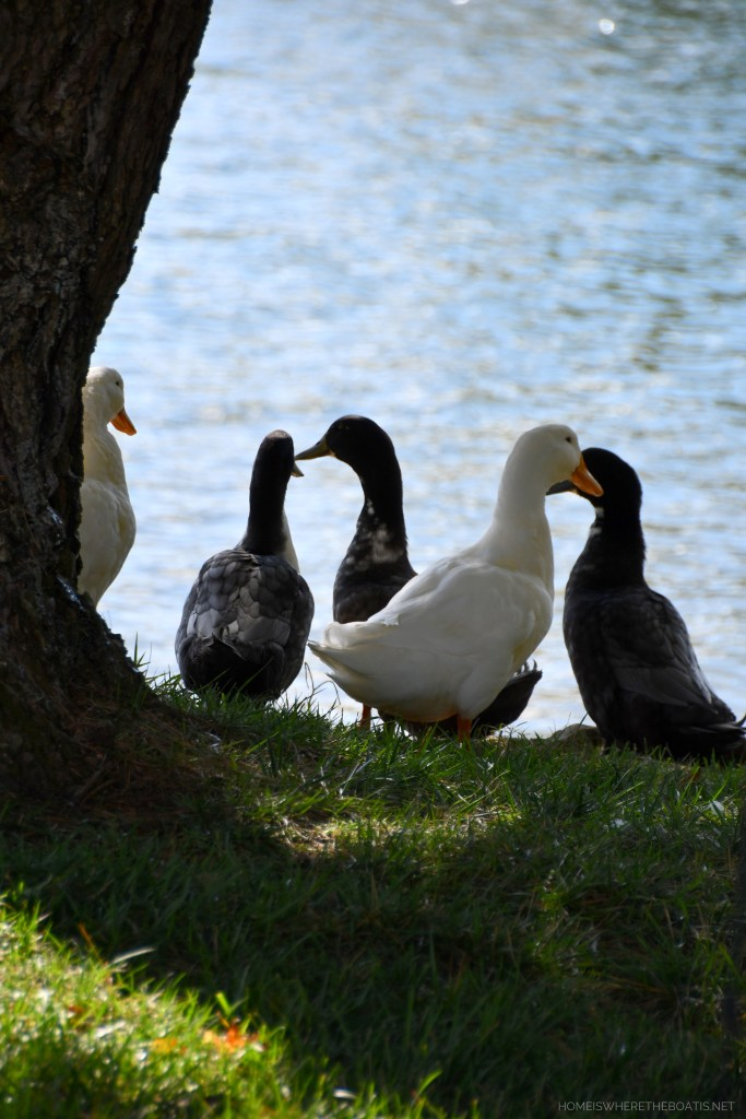 Weekend Waterview Ducks | ©homeiswheretheboatis.net #lake #LKN #ducks