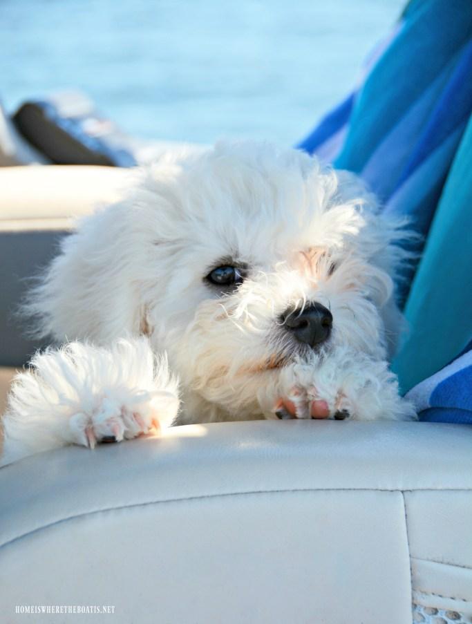 Sophie on pontoon | ©homeiswheretheboatis.net #boatingwithdogs #bichonfrise #nationaldogday