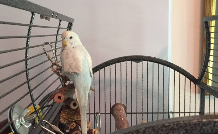 Finding and bringing home our second parakeet