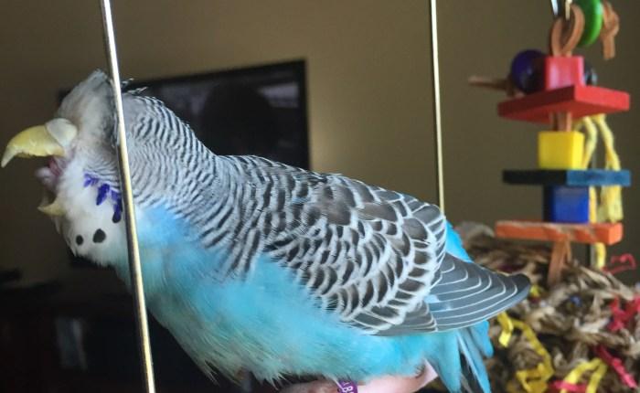 parakeet yelling