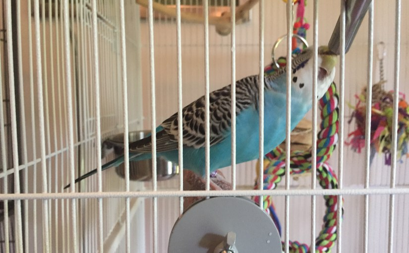 Tips for keeping budgie food and water free of poop