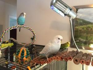 introducing parakeets