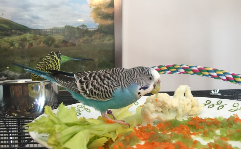 Parakeet weight update – have Toby & Kelly slimmed down?
