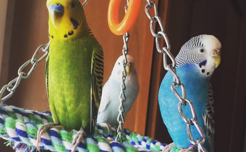Coming home from travel – how do budgies react
