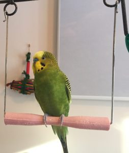 Kevin the budgie on a swing