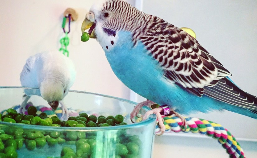 Working from home with parakeet colleagues