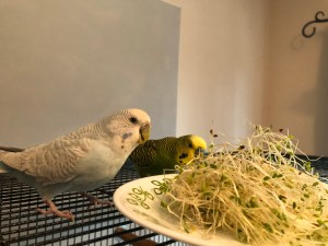 Two parakeets trying some sprouts