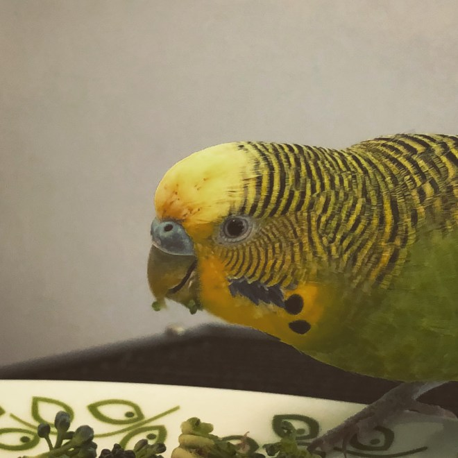 A green parakeet with a yellow head eating broccoli