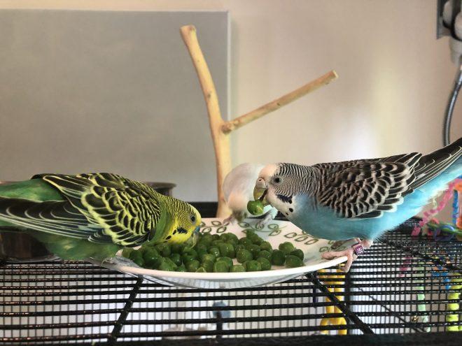 three parakeets eat peas