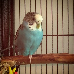 A blue parakeet rests with one foot up
