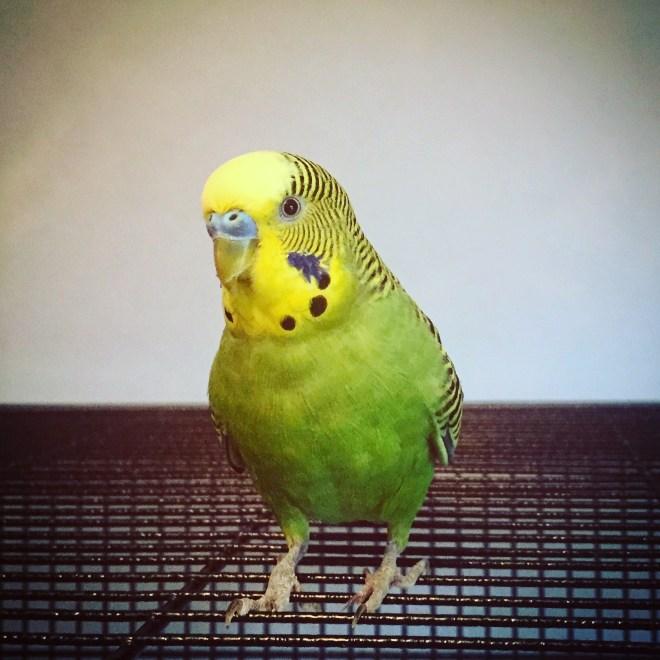A green parakeet