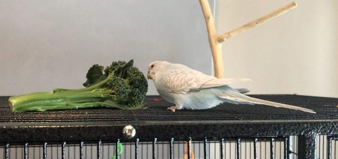 A pale blue parakeet considers a stem of brocolli