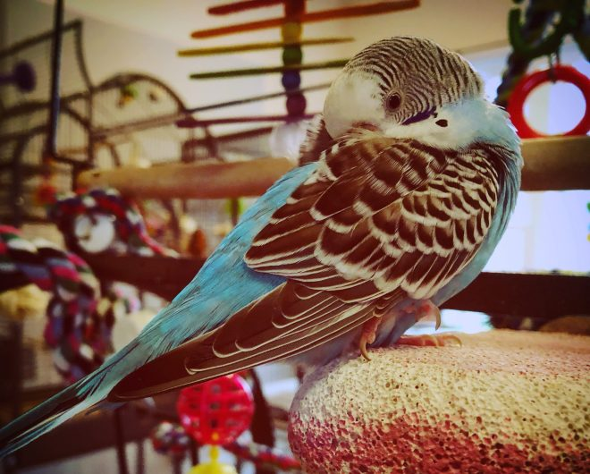 A blue budgie taking a nap