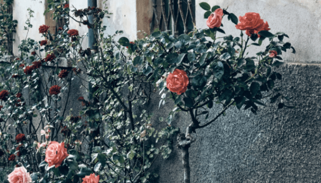 A rose bush near a house you can buy in Vancouver.