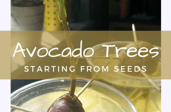 Growing avocado trees from seeds is remarkably simple, but takes a long time. Here's how I started, and some other cuttings and seedlings I've been working on.