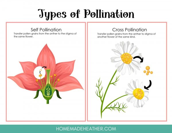 Types of Flower Pollination Printable